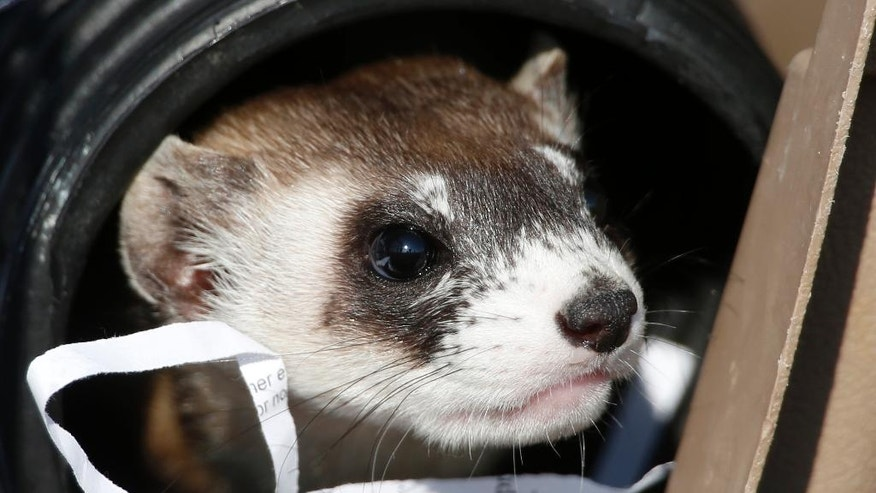 FILE - In this Oct. 5, 2015, file photo, a black-footed ferret looks out from a carrier during a release of 30 ferrets by the U.S. Fish and Wildlife Service at the Rocky Mountain Arsenal National Wildlife Refuge in Commerce City, Colo. The endangered weasel is returning to an area of western Wyoming where the critter almost went extinct more than 30 years ago. Biologists plan to release 35 black-footed ferrets Tuesday, July 26, 2016, near Meeteetse, Wyo. Scientists thought the black-footed ferret was extinct until a dog brought a dead one home near Meeteetse in 1981. (AP Photo/David Zalubowski, File)