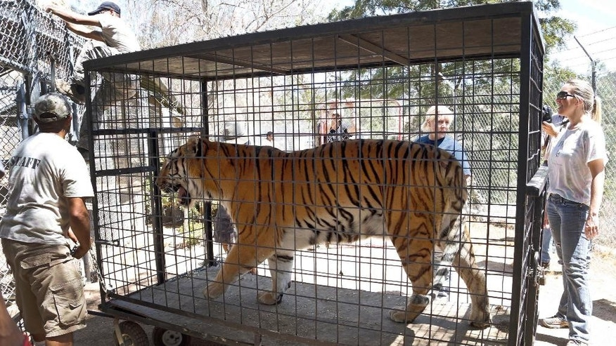 "Wildlife Waystation staff members return ""Tyson,"" a tiger, who was evacuated from the sanctuary in the Angeles National Forest in the Sylmar area of Los Angeles, on Wednesday, July 27, 2016. About a dozen lions, tigers and cougars returned Wednesday to the sanctuary north of Los Angeles, four days after they were evacuated in the teeth of an advancing wildfire. (AP Photo/Nick Ut)"
