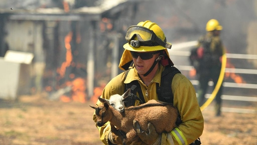 A firefighter rescues a goat from a burning house as flames envelope a property off of Bonham Road near Lower Lake, Calif. on Sunday, August 14, 2016. Flames continue to burn out of control in the area. Flames racing through dry brush Sunday destroyed at least four homes and forced more than 1,000 people to flee and firefighters to carry animals out of a northern California lake community that was evacuated in a devastating wildfire last year. (AP Photo/Josh Edelson)