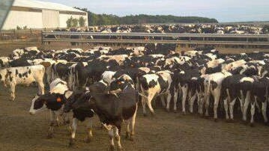 0818 wis cows