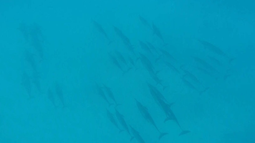 FILE - This Jan. 21, 2016 file image taken from video shows dolphins swimming at the bottom of a bay off Waianae, Hawaii.