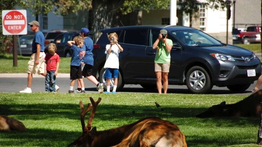 In this Aug. 3, 2016 photo, tourists take photos of elk outside Yellowstone National Park's Mammoth Hot Springs Hotel. Elk frequent the grass outside the hotel, where park administrators say visitors routinely violate park rules that require them to stay a minimum 25 yards from the animals. (AP Photo/Matthew Brown)