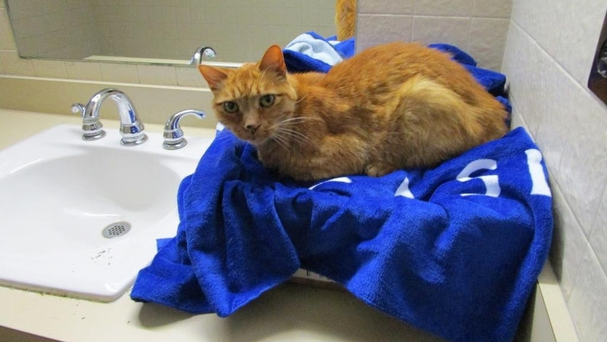 In this Aug. 2016 photo provided by Alyson Payne, Milkie, a 14-year-old tabby cat, sits on a bathroom counter after being rescued in New Buffalo, Mich. A Michigan Welcome Center doubled as an animal rescue center, as employees sought and saved a cat that escaped from its cross-country bound family. Center employee Payne says workers finally safely trapped Milkie on Friday, Aug. 26. (Alyson Payne via AP)