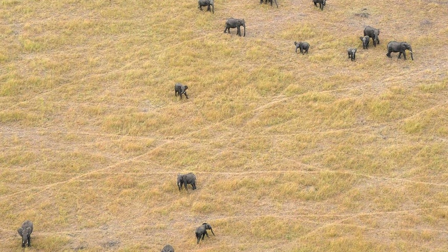 In this June 2014 photo provided by Vulcan Inc., African savanna elephants graze in Serengeti National Park in Tanzania. The number of savanna elephants in Africa is rapidly declining and the animals are in danger of being wiped out as international and domestic ivory trades continue to drive poaching across the continent, according to a study released Wednesday, Aug. 31, 2016. (Great Elephant Census, Vulcan Inc. via AP)