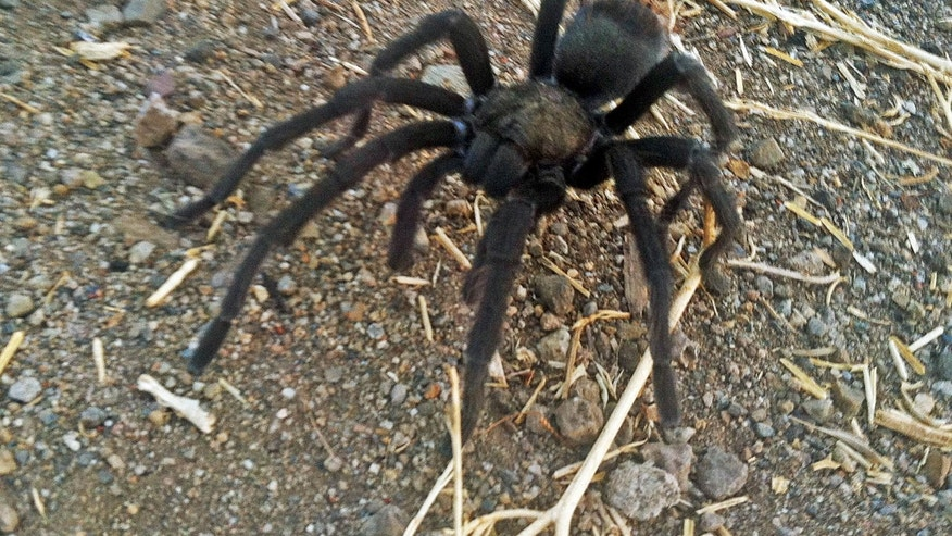 This Aug. 12, 2013 photo provided by the National Park Service shows a tarantula at the Rancho Sierra Vista park site, within the Santa Monica Mountains National Recreation Area near Newbury Park, Calif.