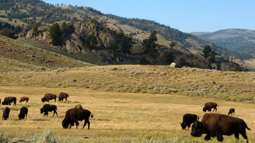FILE - In this Aug. 3, 2016 file photo, a herd of bison grazes in the Lamar Valley of Yellowstone National Park.