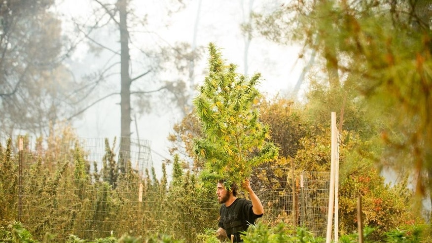 Anthony Lopez harvests marijuana plants as the Loma fire burns around his home near Morgan Hill, Calif., on Tuesday, Sept. 27, 2016. (AP Photo/Noah Berger)