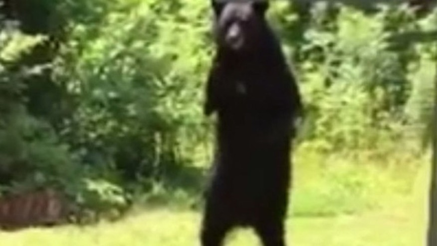 This undated image take from video shows a black bear nicknamed 'Pedals' walking on its hind legs in New Jersey