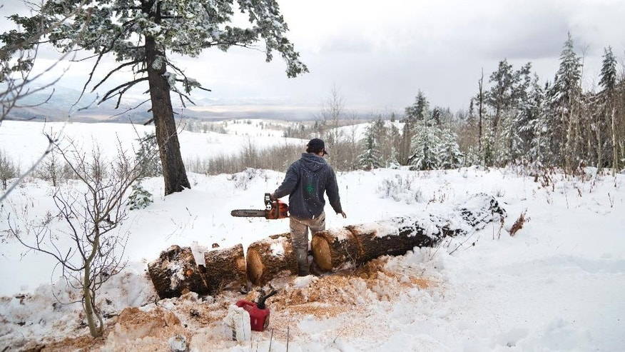 ** HOLD FOR OVERNIGHT MOVEMENT ** File - In this Oct. 6, 2016 file photo, Nat Sandner inspects his work on a fallen pine tree in the snow on Shadow Mountain near Kelly, Wyoming. With measureable snowfall already in parts of the Rockies and Northwest, the 2016 wildfire season is pretty much over in much of the West. Snow fell this last week in Washington, Oregon, Montana and Wyoming. About a foot of snow fell in areas of western Wyoming in elevations as low as 7,000 feet. Snow on Monday covered Old Faithful in Yellowstone National Park, where wildfires were active this summer. (Rugile Kaladyte /Jackson Hole News & Guide via AP)