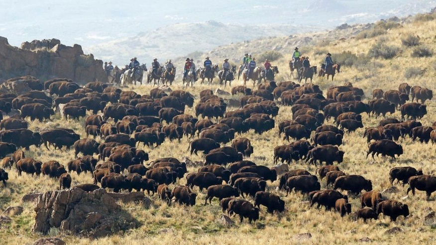 Riders on horseback herd bison during an annual roundup on Antelope Island, Utah, on Saturday, Oct. 22, 2016. Utah State Parks workers are moving the animals from across the island so they can be weighed, tagged and given health checkups. Antelope Island is on the Great Salt Lake, approximately 41 miles north of Salt Lake City. (AP Photo/Rick Bowmer)