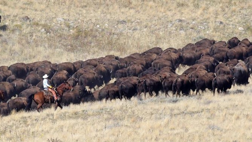 Riders on horseback herd bison during an annual roundup Saturday, Oct. 22, 2016, on Antelope Island, Utah. Utah State Parks workers are moving the animals from across the island so they can be weighed, tagged and given health checkups. Antelope Island is on the Great Salt Lake, approximately 41 miles north of Salt Lake City. (AP Photo/Rick Bowmer)