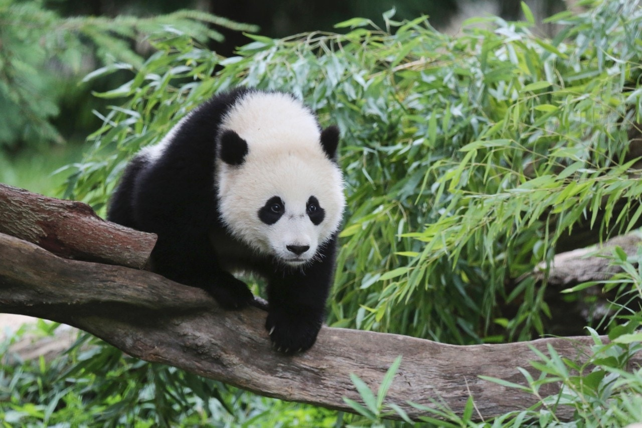 Furry Farewell Panda Twins Leave Atlanta For China Fox News