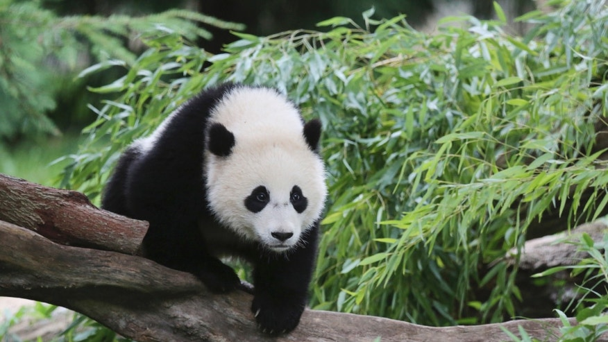 Bao Bao, a 44-pound female panda bear cub, is seen in the panda exhibit at the Smithsonian's National Zoo in Washington