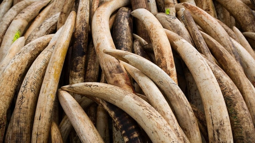 "FILE - In this April 28, 2016, file photo, elephant tusks are stacked in one of around a dozen pyres of ivory, in Nairobi National Park, Kenya. Cesar ""Ernie"" Gutierrez, a famous custom pool-cue maker, was sentenced Monday, Nov. 7, 2016, to two years of probation for his role in trying to help export protected African elephant ivory to Taiwan. (AP Photo/Ben Curtis, File)"