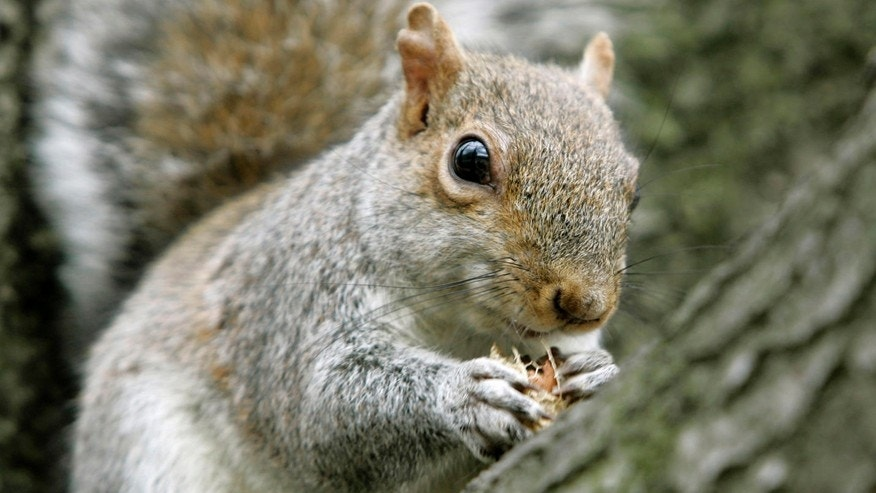 A squirrel snacks on a peanut while sitting in a tree outside the federal courthouse in Washington, Tuesday, Jan. 16, 2007. (AP Photo/Haraz N. Ghanbari)