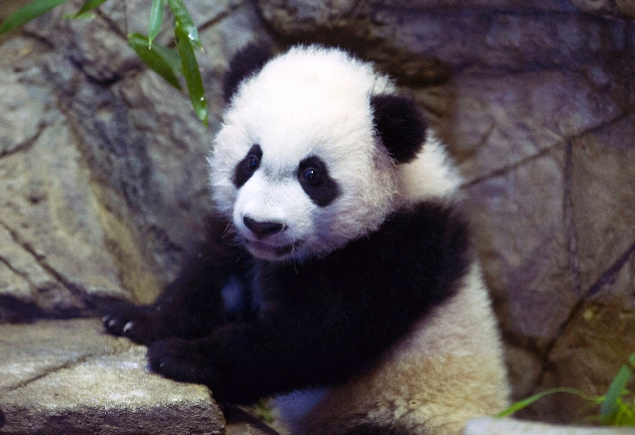Giant Panda Cub In Recovery After Emergency Surgery Fox News