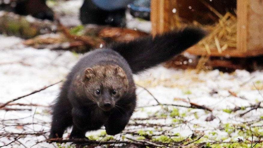 In this Friday, Dec. 2, 2016, photo, a Pacific fisher takes off running after being released into a forest at Mount Rainier National Park, Wash. Pacific fishers, forest-dwelling weasel-like mammals whose numbers have declined in the West Coast over the decades, are slowly making a comeback in Washington state. The fisher was among 10 captured days earlier in British Columbia, and then released Friday as part of a multi-year effort to restore them to their historic range. (AP Photo/Elaine Thompson)