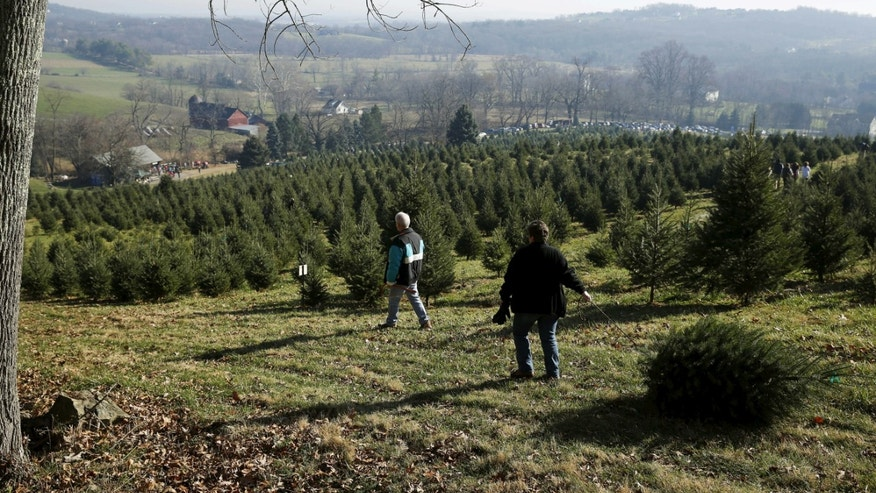 A couple drags their freshly cut tree back to the barn from the upper reaches of the Snickers Gap Christmas Tree Farm in Round Hill, Virginia, December 6, 2015. Snickers Gap is a 35 year-old family owned operation that currently has 36,000 Christmas trees planted on forty acres in rural Virginia outside of Washington. Picture taken December 6, 2015.   REUTERS/Gary Cameron     - RTX1XS9N