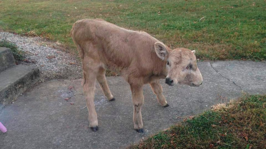 A photo provided by Brandy McCubbin, date not known, in Taylor County, Ky., shows a two-faced calf named Lucky, who died Monday, Jan. 2, 2017. The Lexington Herald-Leader reports the McCubbin family had been trying to raise $500 for a scan to see if the calf's cleft palate could be repaired, which would allow her to eat hay. Donors gave thousands of dollars, and Brandy McCubbin said the family is looking for a charitable cause for the money. McCubbin said the calf was 108 days old when she died. The animal had four eyes, two noses and two mouths. (Brandy McCubbin via AP)