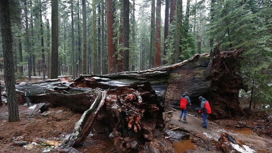 "A television news crew views the fallen Pioneer Cabin Tree at Calaveras Big Trees State Park Monday, Jan. 9, 2017, in Arnold , Calif. Famous for a ""drive-thru"" hole carved into its trunk, the giant sequoia was toppled over by a massive storm Sunday. (AP Photo/Rich Pedroncelli)"
