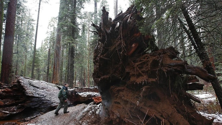 "California State Parks Supervising Ranger Tony Tealdi walks to the fallen Pioneer Cabin Tree at Calaveras Big Trees State Park, Monday, Jan. 9, 2017, in Arnold, Calif. Famous for a ""drive-thru"" hole carved into its trunk, the giant sequoia was toppled over by a massive storm Sunday. (AP Photo/Rich Pedroncelli)"