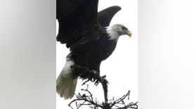 FILE - In this Nov. 5, 2016 file photo, a bald eagle is poised for flight from a treetop perch at the Mendenhall Glacier Recreation Area in Juneau, Alaska. Audubon Society bird counters found the number of bald eagles in 2015 were double the 1995 count. Some farmers and conservationists say the resurgence of the American bald eagle has come at a price. (AP Photo/Becky Bohrer, File)
