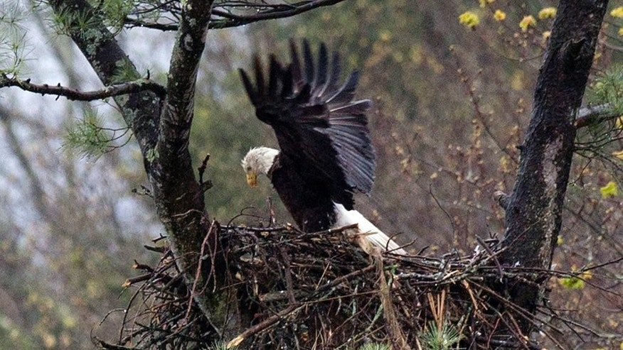 FILE - In this May 4, 2016 file photo, spring rain falls on an eagle stretching its wings while on the nest Hinsdale, N.H. Audubon Society bird counters found the number of bald eagles in 2015 were double the 1995 count. Some farmers and conservationists say the resurgence of the American bald eagle has come at a price. (AP Photo/Jim Cole, File)