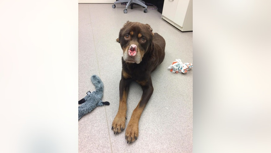 In this Jan. 18, 2017 photo released by the Michigan Humane Society, a Rottweiler mix appears with its ears and nose cut off in Detroit. Animal welfare authorities in Detroit are trying to find whoever is responsible for maiming a dog and offering a $2,500 reward for the arrest and conviction of whoever hurt the dog. (Michigan Humane Society via AP)