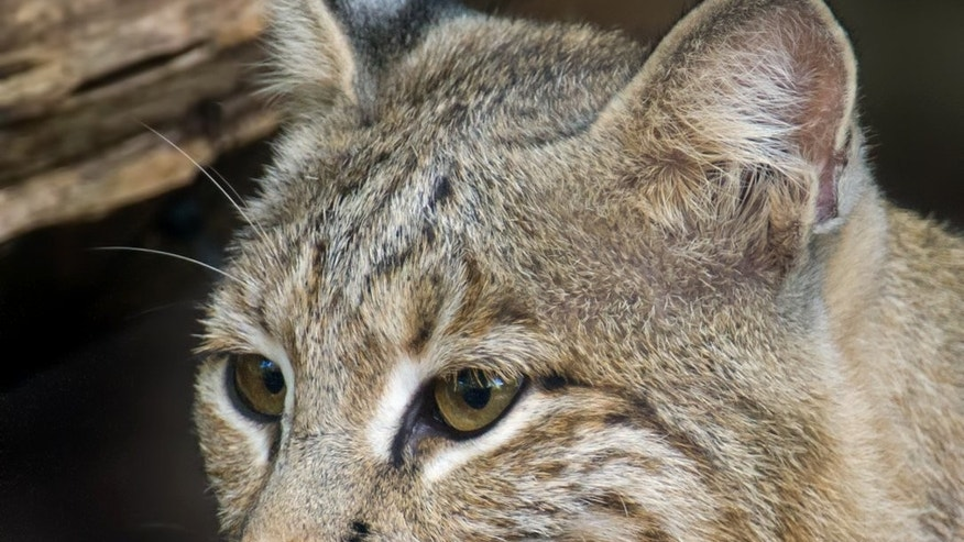 Bobcats are not known to be aggressive to humans according to experts