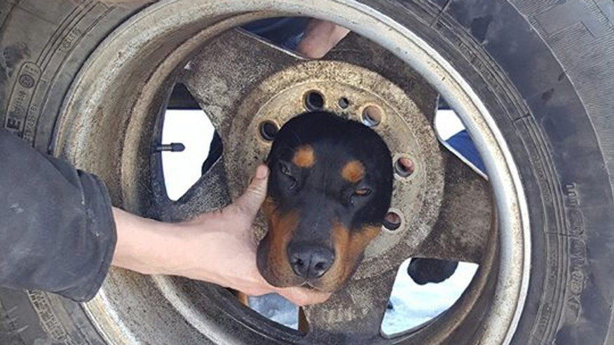 Dog in Wheel