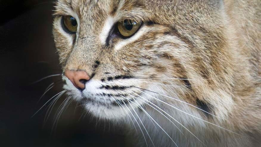 This photo provided by the Smithsonian's National Zoo shows Ollie, a female bobcat the the zoo.