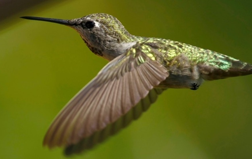 An Anna?s Hummingbird (Calypte anna) flies through a canyon while feeding in Encinitas, California in September 12, 2007. The increased planting of ornamental and flowering plants in California has allowed the humming bird to expand it's population and range in North America.    REUTERS/Mike Blake    (UNITED STATES) - RTR1UB8L