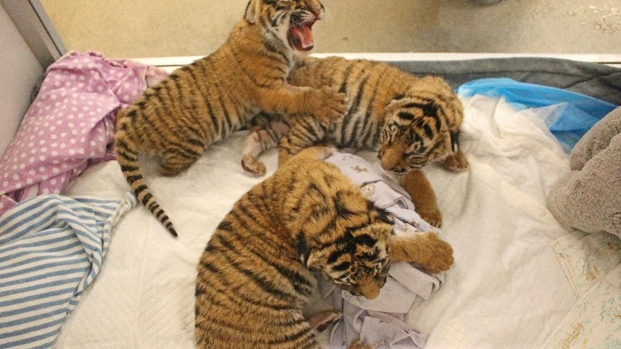 This Tuesday, Feb. 7, 2017, photo provided by the Cincinnati Zoo & Botanical Garden shows three newborn Malayan tiger cubs being kept warm in the zoo's nursery in Cincinnati. A Malayan tiger named Cinta gave birth to the cubs Friday, Feb. 3, 2017, and zoo officials say that because the first-time mother's maternal instincts didn't kick in, employees in the zoo's nursery will keep the cubs warm and feed them before they are placed in an outdoor habitat in the early spring. (Cincinnati Zoo & Botanical Garden via AP)