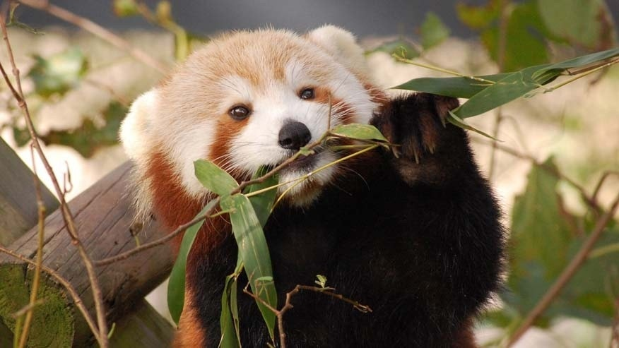 In this Oct. 4, 2016 photo provided by the Virginia Zoo, Sunny, a Red Panda, appears in her habitat at the Virginia Zoo in Norfolk, Va. Zoo spokeswoman Ashley Grove Mars said Sunny, was in her habitat on the evening of Monday, Jan. 23, 2017, but could not be found Tuesday morning. (Virginia Zoo via AP)