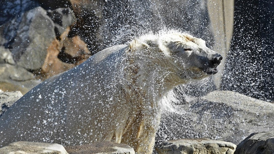 In this Feb. 13, 2017 photo provided by the Chicago Zoological Society Nan, a female polar bear shakes off water after a swim in her public debut at the Brookfield Zoo's Great Bear Wilderness habitat in Brookfield, Ill. Nan arrived at Brookfield Zoo earlier this month after spending the last 16 years at Toledo Zoo in Ohio. The zoo is hoping Nan is a match with the suburban Chicago zoo's male polar bear Hudson and will be breeding partners. (Jim Schulz/Chicago Zoological Society via AP)