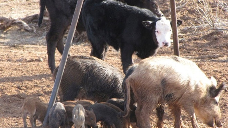FILE: Feral hogs cost Texas farmers millions a year, and the state's population is at 2.5 million.