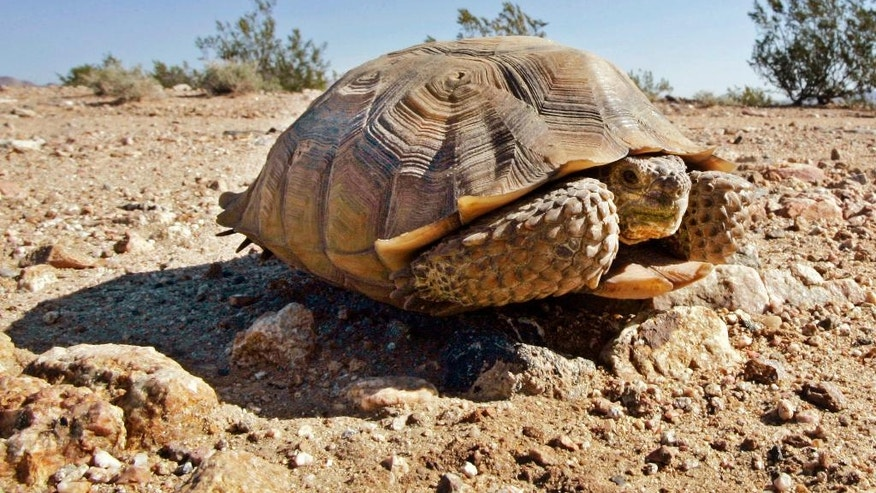 FILE - In this Sept. 3, 2008, file photo, an endangered desert tortoise, sits in the middle of a road at the proposed location of three BrightSource Energy solar-energy generation complexes in the eastern Mojave Desert near Ivanpah, Calif. Federal authorities have approved a plan to move nearly 1,500 desert tortoises from a Southern California Marine base. The removal could begin at the end of March or in April 2017, after the reptiles emerge from their underground winter hibernation. (AP Photo/Reed Saxon, File)