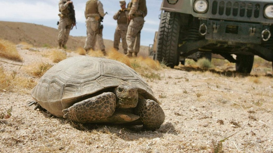 FILE - In this April 4, 2008, file photo, U.S. Marines wait for a desert tortoise, endangered and protected from harm or harassment by federal law, to move off the road during an operation by Military Police to stop trespassers from stealing metal ordnance on the grounds of the U.S. Marine Corps' Air Ground Combat Center at Twentynine Palms, Calif. Federal authorities have approved a plan to move nearly 1,500 desert tortoises from a Southern California Marine base. The removal could begin at the end of March or in April 2017, after the reptiles emerge from their underground winter hibernation. (AP Photo/Reed Saxon, File)