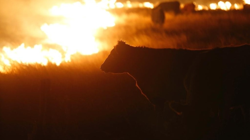 Cattle graze by a wildfire near Protection, Kan., early Tuesday, March 7, 2017. Grass fires fanned by gusting winds scorched swaths of Kansas grassland Monday, forcing the evacuations of several towns and the closure of some roads. (Bo Rader/The Wichita Eagle via AP)