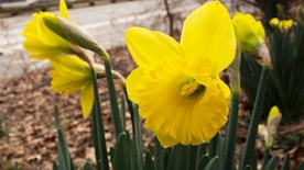 FILE - In this Feb. 28, 2017 file photo, daffodils bloom in New York's Central Park. Federal meteorologists say a freakishly warm February broke more than 11,700 local daily records for warmth in the U.S., but it didn't quite beat 1954 for the nation's warmest February on record.  (AP Photo/Mark Lennihan, File)