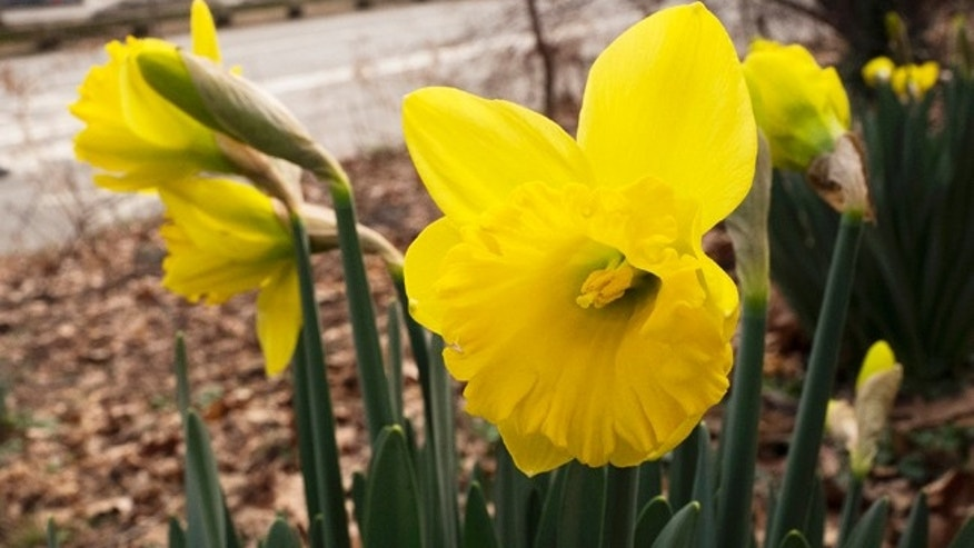 Daffodils bloom in February 2017 in New York's Central Park. Federal meteorologists say a freakishly warm February broke more than 11,700 local records in the U.S.