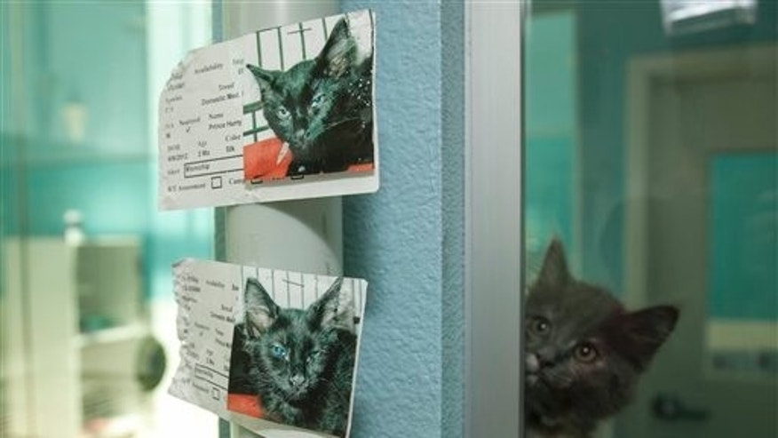 Kittens at a California animal shelter.
