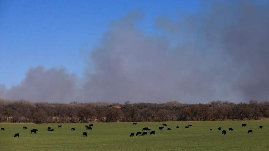 Cattle graze with a background of smoke from wildfires near Hutchinson, Kan., Tuesday, March 7, 2017.  Fires raged in parts of Kansas, Oklahoma, Texas and Colorado, and warnings that conditions were ripe were issued for Iowa, Missouri and Nebraska. The fire warning came after powerful thunderstorms moved through the middle of the country overnight, spawning dozens of suspected tornadoes, according to the National Weather Service.(AP Photo/Orlin Wagner)