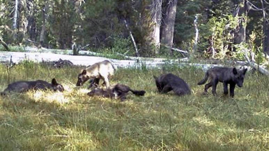 The Shasta wolfpack in August 2015