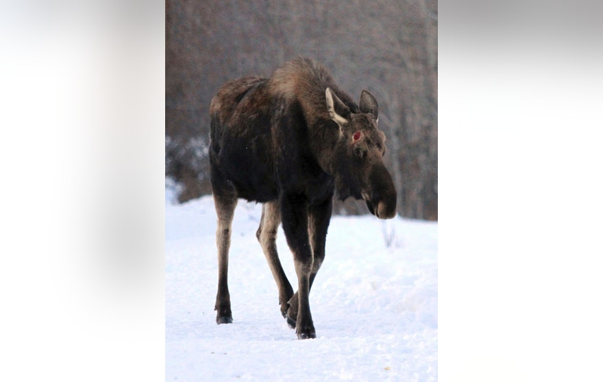 In this Monday, March 6, 2017, photo, a bull moose whose antlers recently dropped walks toward hikers near Connors Bog in Anchorage, Alaska. Confrontations between moose and Alaska residents are leading wildlife officials to warn people to give the animals some distance. The department says moose are nutritionally stressed and probably tired from the long Alaska winter. (AP Photo/Dan Joling)