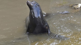 A sea lion exits a drainage pipe, where it had out in a farmland canal in Vacaville, Calif., Wednesday, March 15, 2017. Marine experts on Wednesday have suspended their effort to rescue the sea lion from a farmland canal because he seems to be headed home on his own. (Joel Rosenbaum/The Vacaville Reporter via AP)