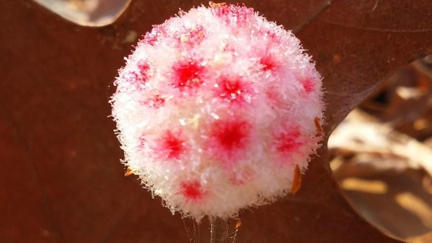The flower is known as a wool sower gall.