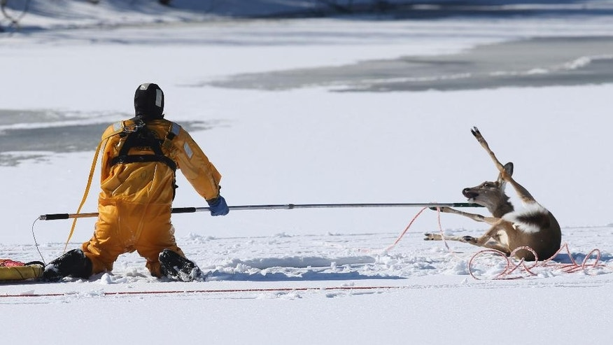Rescue personnel retrieve a deer that was stuck on ice for more than 12 hours on a pond in Roxbury, NJ., Sunday, March 19, 2017. A rescue vehicle sank in an attempt to get the deer, but they were all rescued and no one was hurt. (Ed Murray/NJ Advance Media via AP)
