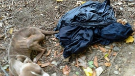 This Nov. 23, 2016, photo provided by Barbara Adams via the Pennsylvania Society for the Prevention of Cruelty to Animals, shows the emaciated dog she noticed inside a trash bag that day in Wissahickon Valley Park in Philadelphia. Philadelphia police officer Michael Long, an 11-year veteran of the force accused of dumping the dog in the park, was arrested Thursday, March 23, 2017, on animal cruelty and related misdemeanor charges, according to the PSPCA. Animal welfare officers took the dog to a shelter for medical care, and a Malvern, Pa., resident has since adopted the female pit bull mix and named the dog Cranberry. (Barbara Adams/PSPCA via AP)