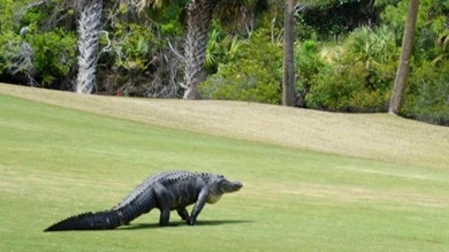 In this Monday, March 27, 2017 photo an alligator walks on a fairway at Kiawah Island Club's River Course.
